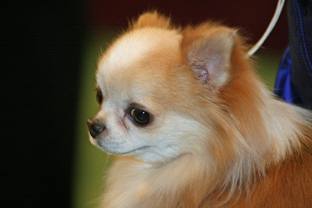 A long haired chihuahua ready to take on the world