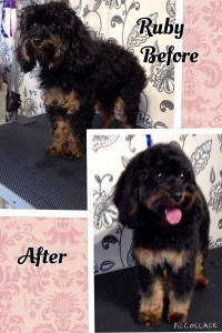 Ruby Cavapoo Before and After